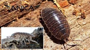 tesbih böceği, tesbih böceği ilaçlama, tesbih böceği ilaçlaması yapımı